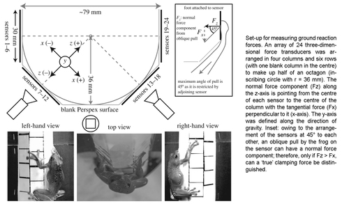 The use of clamping grips and friction pads by tree frogs for climbing curved surfaces
