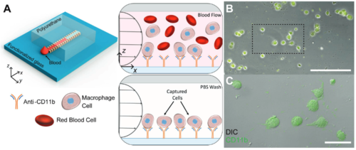 Thermocapillary-driven fluid flow within microchannels