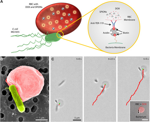 Soft erythrocyte-based bacterial microswimmers for cargo delivery