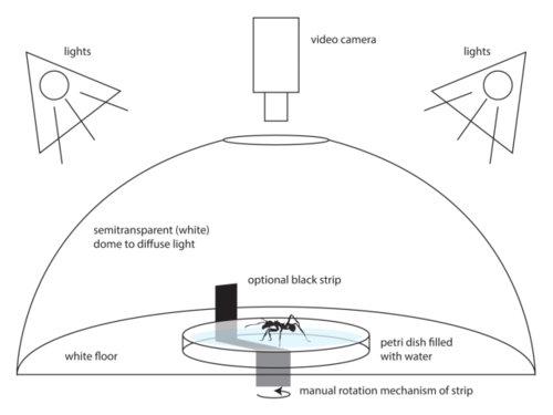 Innate turning preference of leaf-cutting ants in the absence of external orientation cues