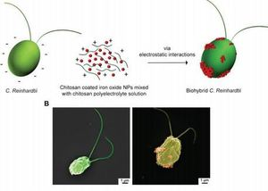 High-Yield Production of Biohybrid Microalgae for On-Demand Cargo Delivery