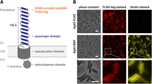 Motility and chemotaxis of bacteria-driven microswimmers fabricated using antigen 43-mediated biotin display