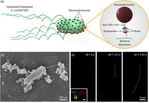 Nanoerythrosome-functionalized biohybrid microswimmers